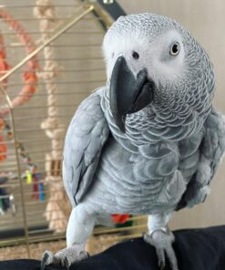 african Grey parrot, african grey parrots for sale, african grey parrot price, african grey parrots for sale in usa, african grey parrots for sale in australia, african grey parrot for sale near me, african grey parrot description, african grey parrot price in usa, african grey parrot hashtags, african grey parrot age, african grey parrot alex, african grey parrot adoption, african grey parrot as pet, african grey parrot australia, african grey parrot age span, african grey parrot adoption near me, african grey parrot average age, african grey parrot baby, african grey parrot baby price, african grey parrot breeding age,
