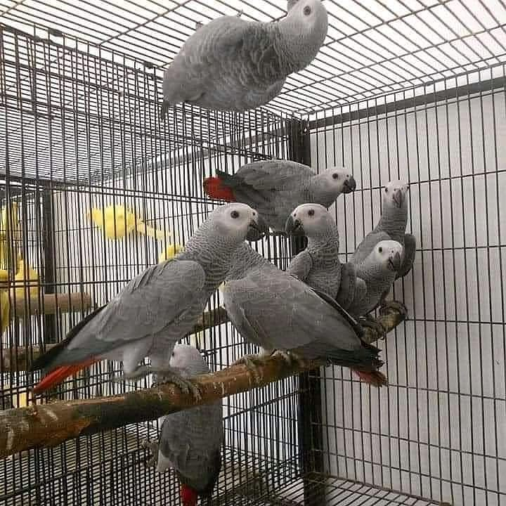african Grey parrot,african grey parrots for sale, african grey parrot price, african grey parrots for sale in usa, african grey parrots for sale in australia, african grey parrot for sale near me, african grey parrot description, african grey parrot price in usa,